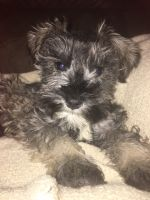 Miniature Schnauzer Puppies for sale in Parker City, IN 47368, USA. price: NA