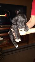 Miniature Schnauzer Puppies for sale in Afton, MI 49705, USA. price: NA