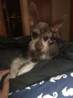 Miniature Schnauzer Puppies for sale in Mahopac, NY 10541, USA. price: NA