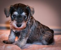 Miniature Schnauzer Puppies for sale in McDonough, GA 30253, USA. price: NA