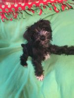 Miniature Schnauzer Puppies for sale in Hornell, NY 14843, USA. price: NA