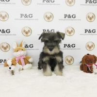Miniature Schnauzer Puppies for sale in Temple City, CA, USA. price: NA
