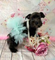 Miniature Schnauzer Puppies for sale in Adamsville, TN 38310, USA. price: NA