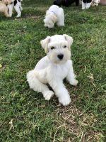 Miniature Schnauzer Puppies for sale in Fontana, CA, USA. price: NA
