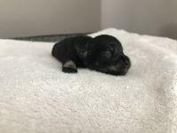 Miniature Schnauzer Puppies for sale in Yakima, WA, USA. price: NA