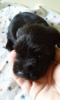 Miniature Schnauzer Puppies for sale in Bardstown, KY 40004, USA. price: NA