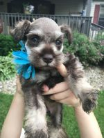Miniature Schnauzer Puppies for sale in New Castle, IN 47362, USA. price: NA