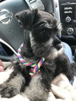 Miniature Schnauzer Puppies for sale in Pearl, MS, USA. price: NA