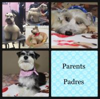 Miniature Schnauzer Puppies for sale in Miami, FL, USA. price: NA