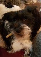 Miniature Schnauzer Puppies for sale in Chesapeake, VA 23320, USA. price: NA
