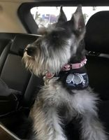 Miniature Schnauzer Puppies for sale in Banning, CA 92220, USA. price: NA