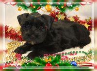 Miniature Schnauzer Puppies for sale in Gate City, VA, USA. price: NA