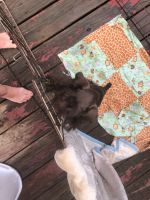 Miniature Schnauzer Puppies for sale in Urbana, OH 43078, USA. price: NA