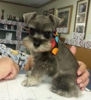 Miniature Schnauzer Puppies for sale in Gainesville, FL, USA. price: NA