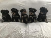 Miniature Schnauzer Puppies for sale in Long Beach, CA, USA. price: NA