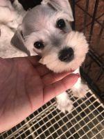 Miniature Schnauzer Puppies for sale in Miami-Dade County, FL, USA. price: NA