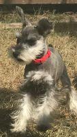 Miniature Schnauzer Puppies for sale in Austin, TX, USA. price: NA