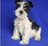 Miniature Schnauzer Puppies for sale in New Bedford, MA 02741, USA. price: NA