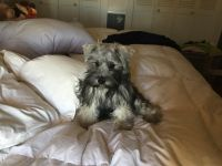 Miniature Schnauzer Puppies for sale in Western, AR 71740, USA. price: NA