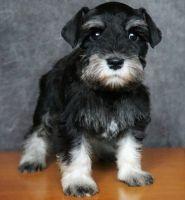 Miniature Schnauzer Puppies for sale in Piedmont, CA 94610, USA. price: NA