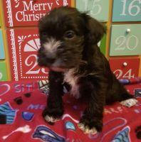 Miniature Schnauzer Puppies for sale in Acworth, GA 30101, USA. price: NA
