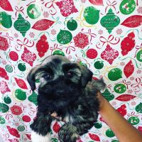 Miniature Schnauzer Puppies for sale in Phoenix, AZ 85041, USA. price: NA