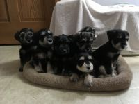 Miniature Schnauzer Puppies for sale in Niles, MI 49120, USA. price: NA