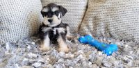 Miniature Schnauzer Puppies for sale in Thousand Oaks, CA, USA. price: NA