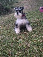 Miniature Schnauzer Puppies for sale in Miami, FL 33126, USA. price: NA