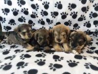 Miniature Schnauzer Puppies for sale in Houghton Lake, MI, USA. price: NA