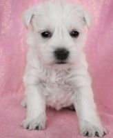 Miniature Schnauzer Puppies for sale in Las Cruces, NM, USA. price: NA