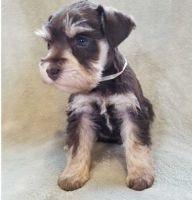 Miniature Schnauzer Puppies for sale in New Orleans, LA, USA. price: NA