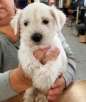Miniature Schnauzer Puppies for sale in Newark, NJ, USA. price: NA