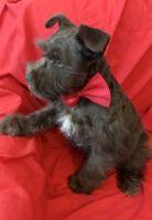 Miniature Schnauzer Puppies for sale in Milwaukee, WI, USA. price: NA