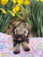Miniature Schnauzer Puppies for sale in Norwood, NC 28128, USA. price: NA