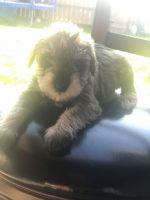 Miniature Schnauzer Puppies for sale in San Jose, CA, USA. price: NA