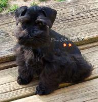 Miniature Schnauzer Puppies for sale in Gastonia, NC, USA. price: NA