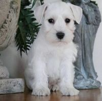 Miniature Schnauzer Puppies for sale in Baltimore, MD, USA. price: NA