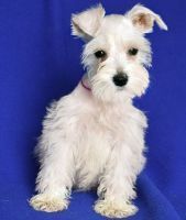 Miniature Schnauzer Puppies for sale in Fresno, CA 93726, USA. price: NA