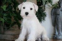 Miniature Schnauzer Puppies for sale in Flint, MI, USA. price: NA