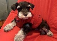 Miniature Schnauzer Puppies for sale in Norwalk, CT, USA. price: NA