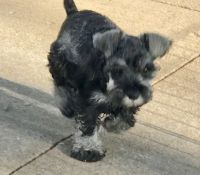 Miniature Schnauzer Puppies for sale in Camp Lejeune, NC 28547, USA. price: NA