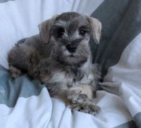 Miniature Schnauzer Puppies for sale in Chisago City, MN, USA. price: NA