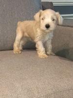 Miniature Schnauzer Puppies for sale in Eastpointe, MI 48021, USA. price: NA