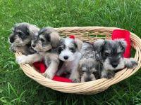 Miniature Schnauzer Puppies for sale in Houston, TX 77073, USA. price: NA