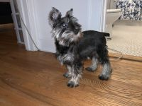 Miniature Schnauzer Puppies for sale in IND HEAD PARK, IL 60525, USA. price: NA