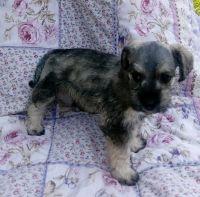 Miniature Schnauzer Puppies for sale in Lincoln, AL 35096, USA. price: NA