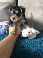 Miniature Schnauzer Puppies for sale in St Cloud, FL, USA. price: NA