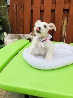 Miniature Schnauzer Puppies for sale in Doral, FL, USA. price: NA