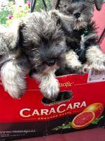 Miniature Schnauzer Puppies for sale in Bremerton, WA, USA. price: NA